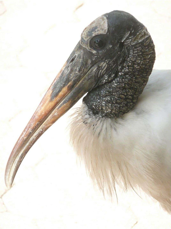 Wood-Stork-Portrait.jpg-nggid03270-ngg0dyn-0x1440-00f0w010c010r110f110r010t010