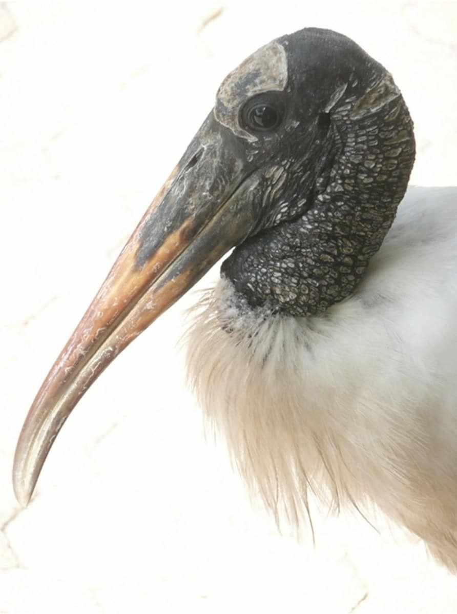 Wood-Stork-Portrait.jpg-nggid03270-ngg0dyn-892x1200x100-00f0w010c010r110f110r010t010