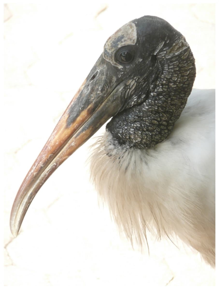 Portrait of Wood Stork